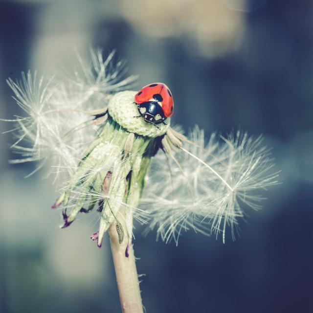 """""""Ladybug in dandelion VIII"""" stock image"""
