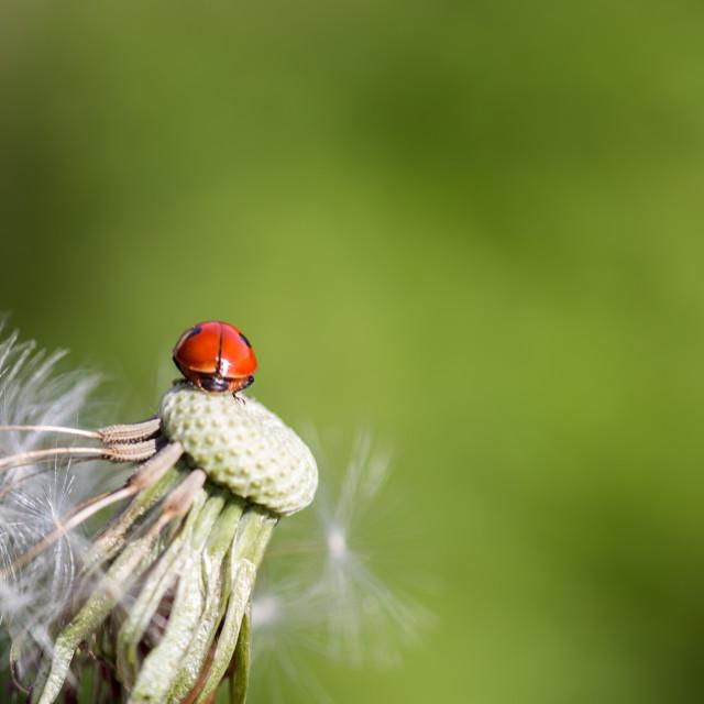 """""""Ladybug in dandelion XI"""" stock image"""