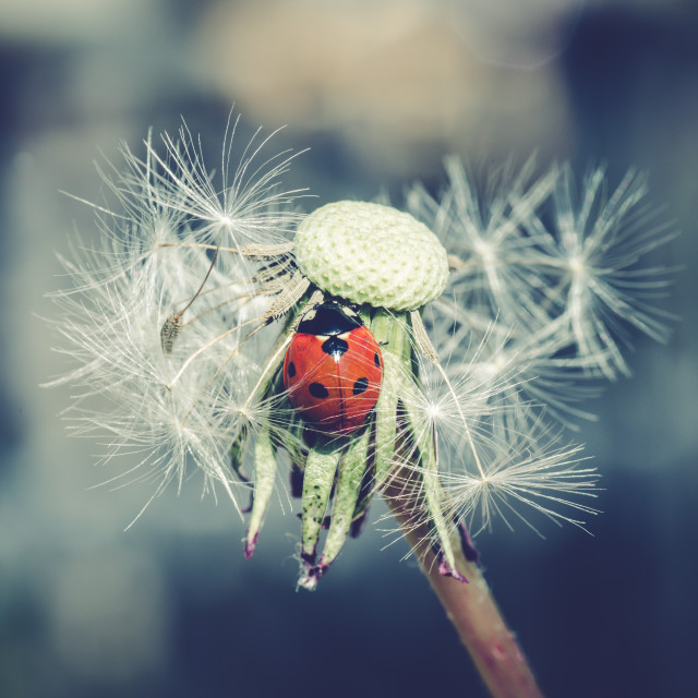 """Ladybug in dandelion IV"" stock image"