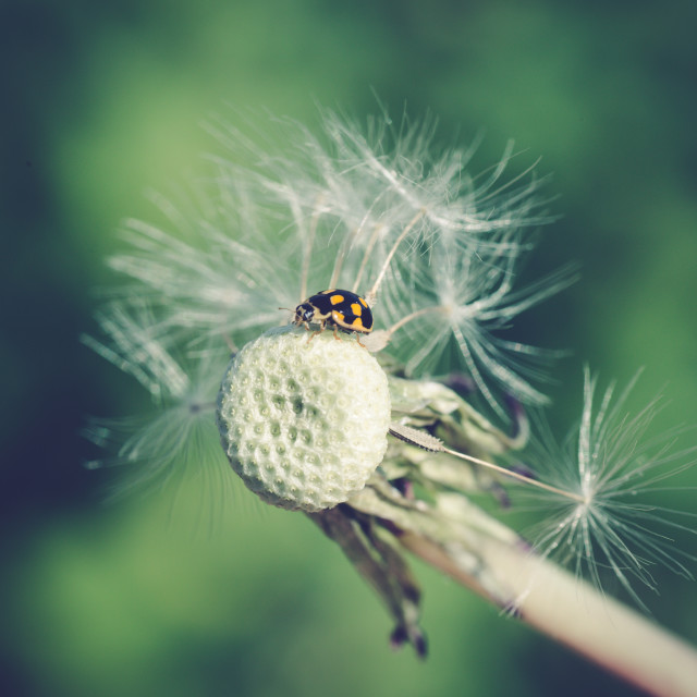 """Ladybug in dandelion XII"" stock image"