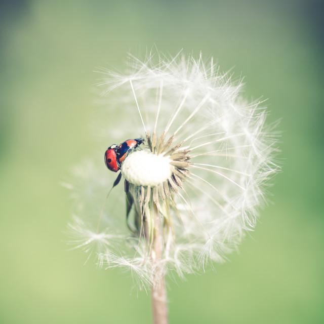 """""""Ladybug in dandelion XIII"""" stock image"""