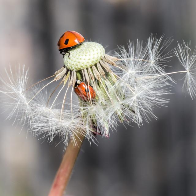"""Ladybug in dandelion VII"" stock image"