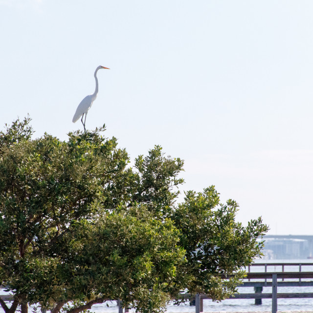 """Great egret in a tree"" stock image"