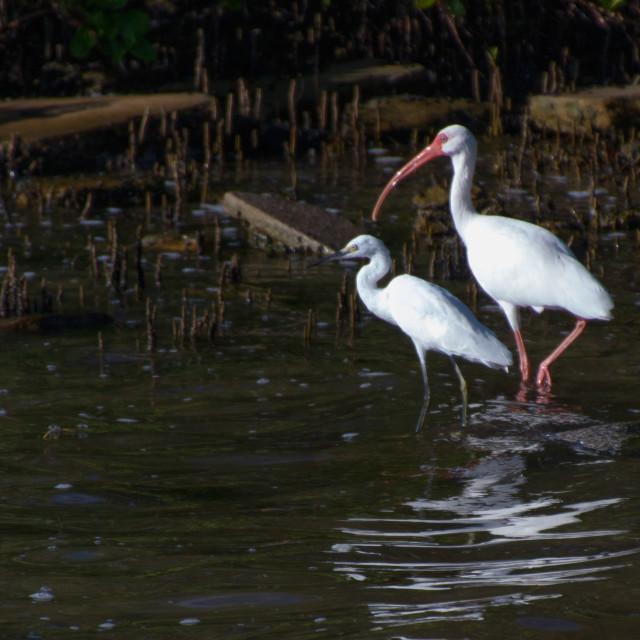 """""""Two white birds"""" stock image"""