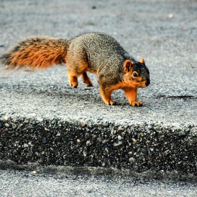"""""""Scampering Squirrel"""" stock image"""