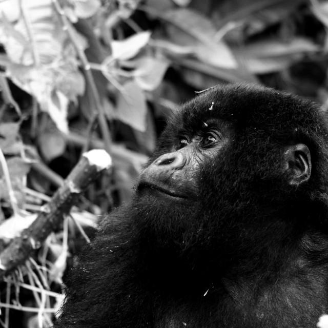 """""""Mountain Gorilla BW"""" stock image"""
