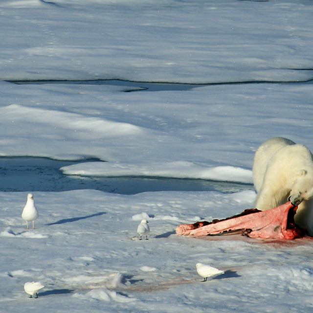 """Polar bear eating a seal"" stock image"