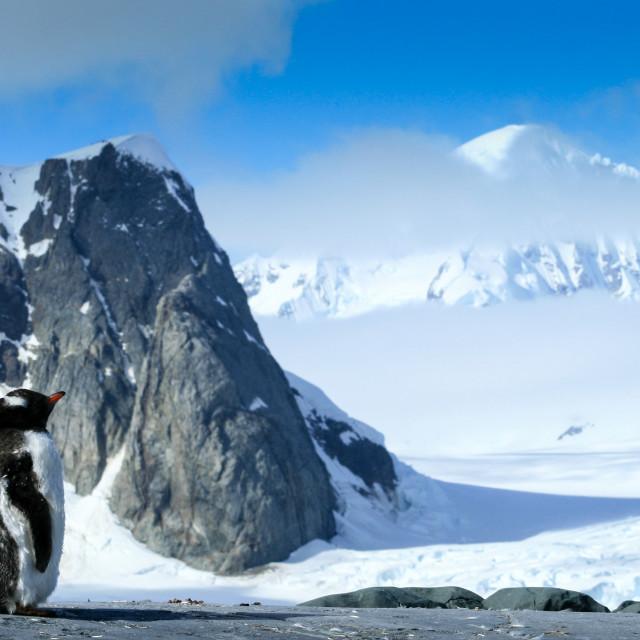 """""""Gentoo penguin in Antarctica"""" stock image"""