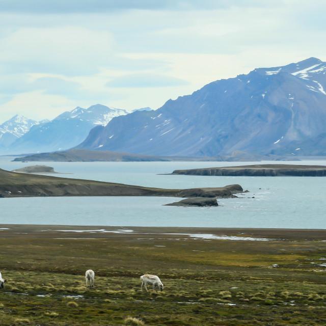 """""""Reindeer in Svalbard"""" stock image"""