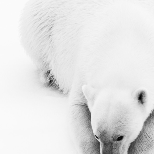 """Polar bear portrait BW"" stock image"