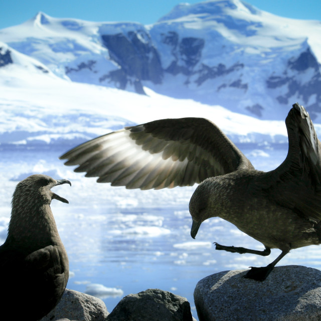 """Interacting skuas"" stock image"