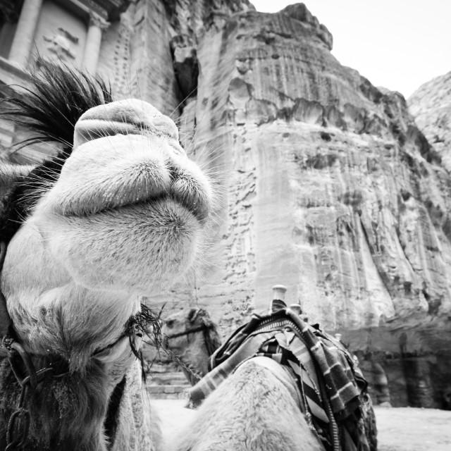 """Camel Face BW"" stock image"