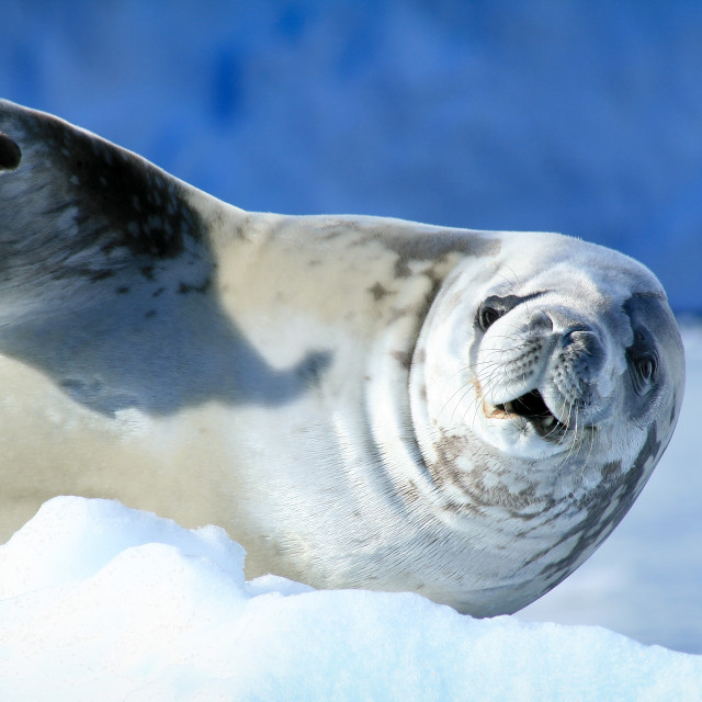 """Crabeater seal wants his money back"" stock image"