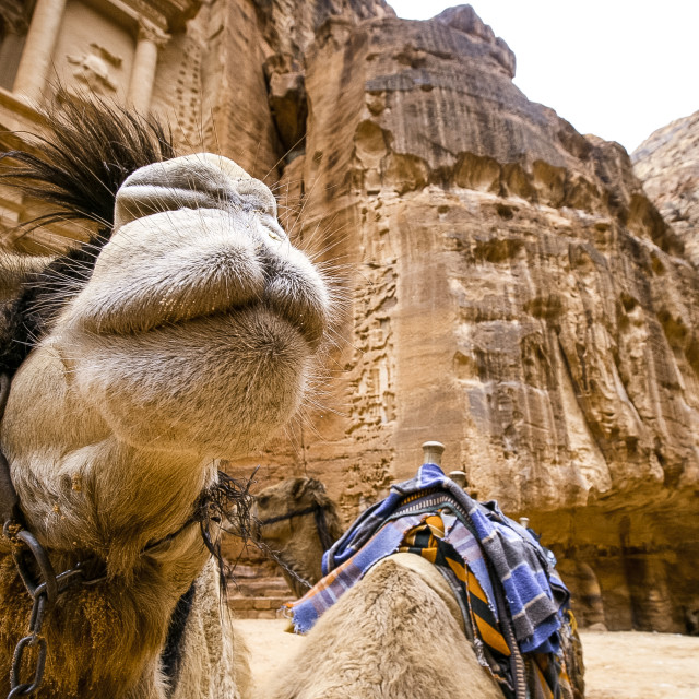 """Camel Face"" stock image"