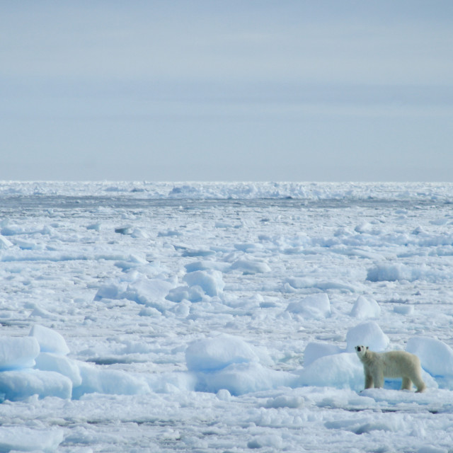 """Polar bear on sea ice"" stock image"