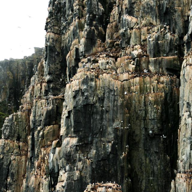 """Bird cliffs of Svalbard"" stock image"