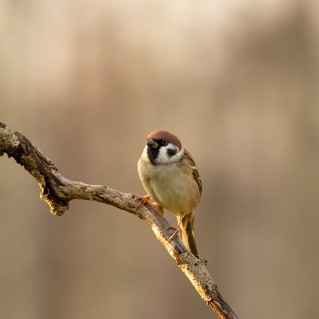 """Tree sparrow (Passer montanus) sitting on a branch in the mornin"" stock image"