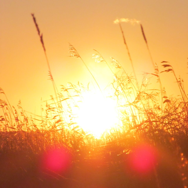 """""""Reeds in the sun"""" stock image"""