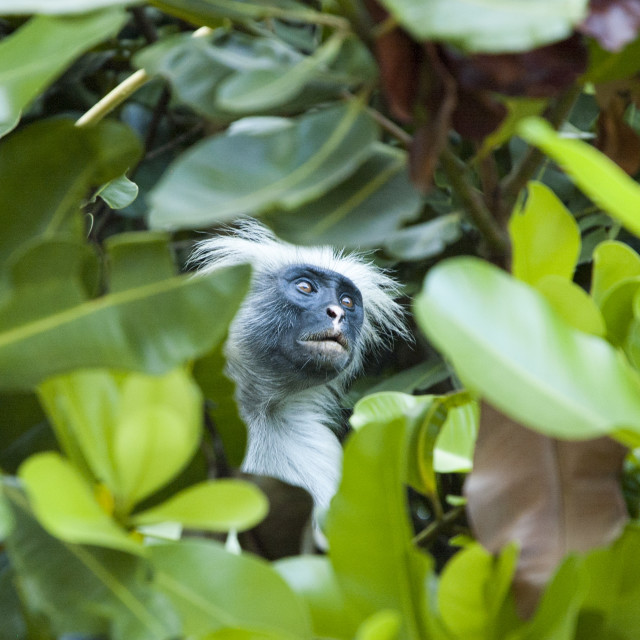 """Red Monkey in Zanzibar forest"" stock image"