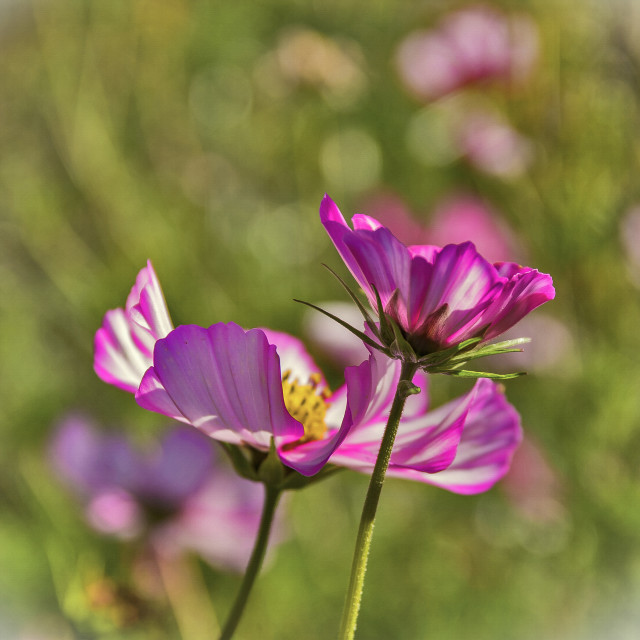 """Pink Cosmos"" stock image"