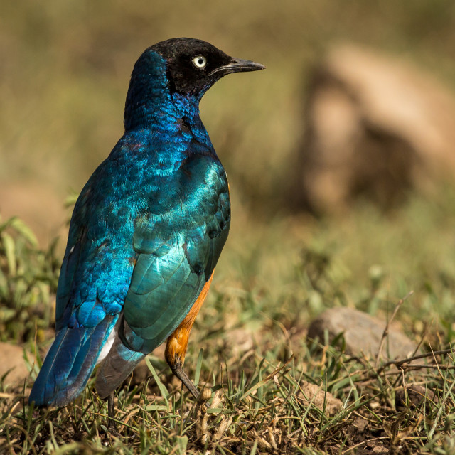 """Superb Starling..superb bird!"" stock image"