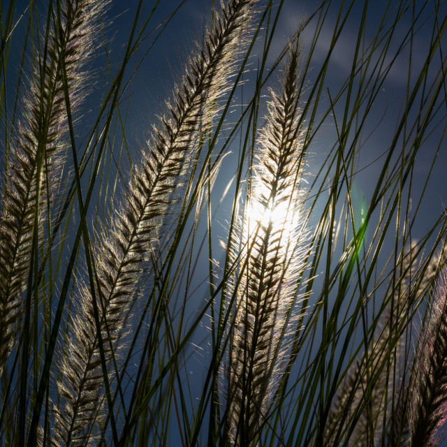 """Marram Grass"" stock image"