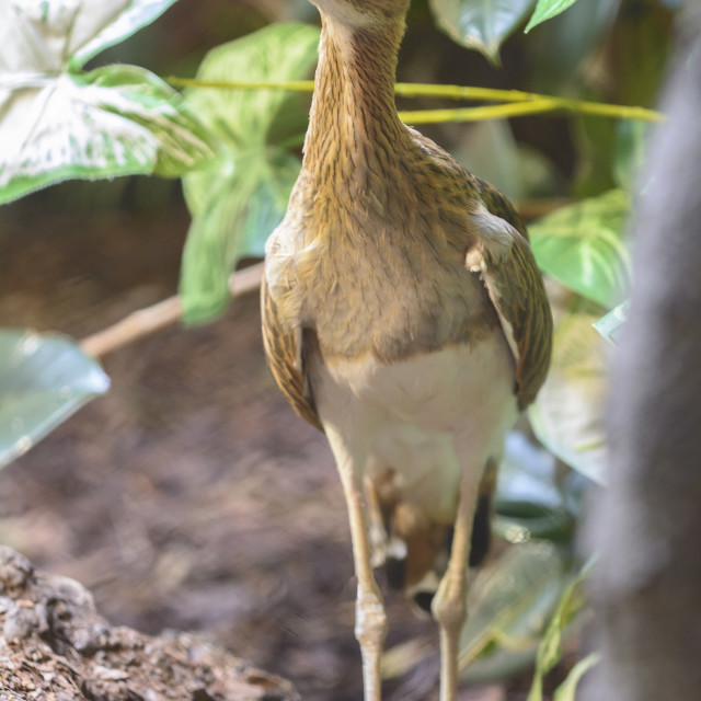 """Double Striped Thick Knee Bird"" stock image"