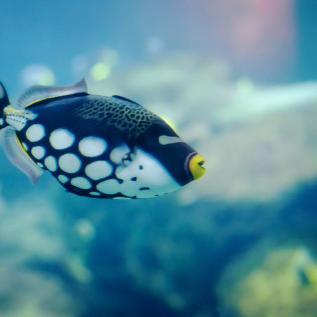 """Clown Triggerl Fish"" stock image"
