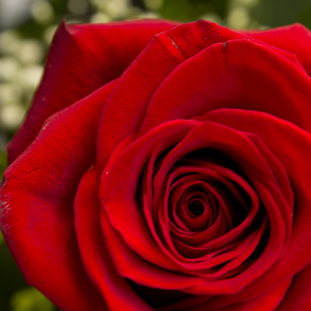 """Closeup of a red rose"" stock image"