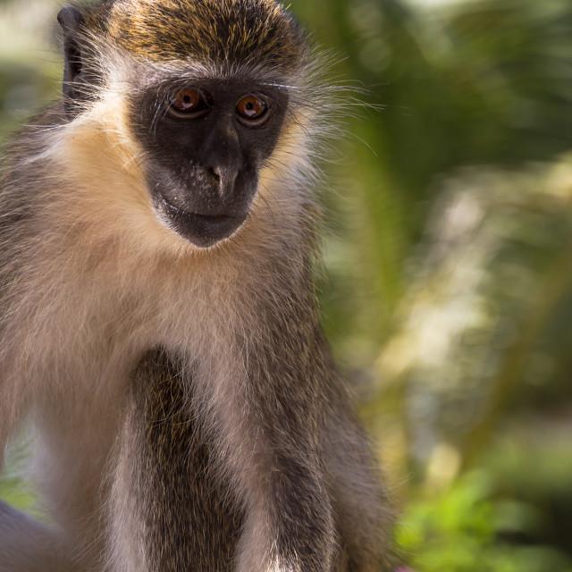 """Monkey On A Veranda"" stock image"