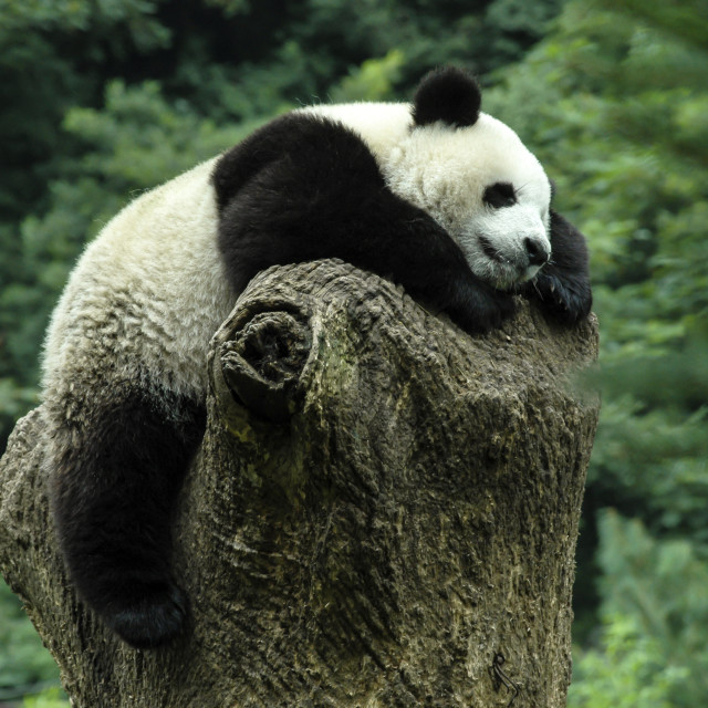 """Sleeping Panda"" stock image"