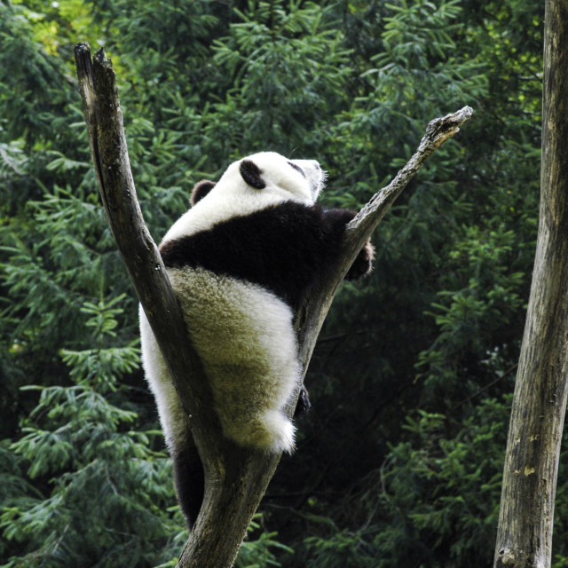 """Panda on tree"" stock image"