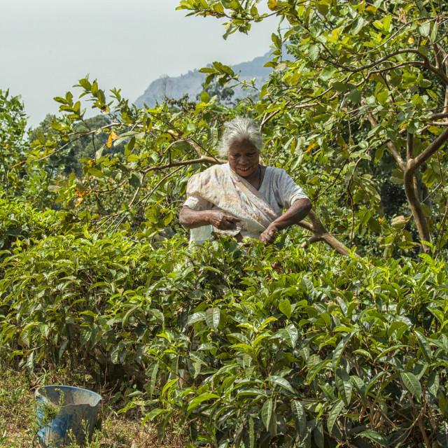 """Elderly female tea picker in Sri Lanka"" stock image"
