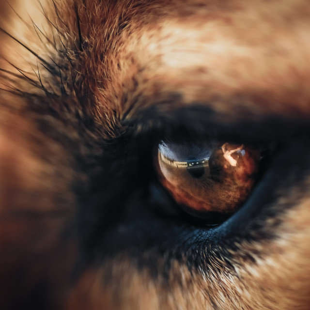 """Dogs eye"" stock image"