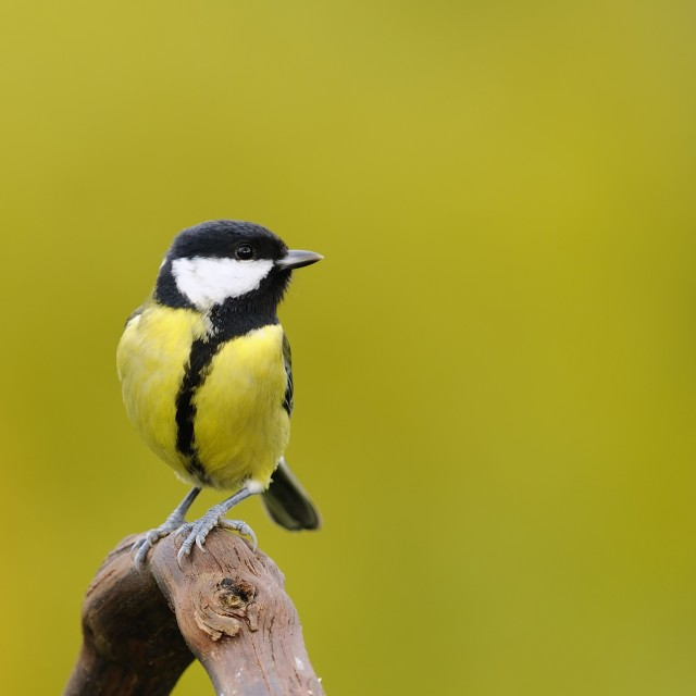 """""""Little tit sitting on branch against of yellow background"""" stock image"""