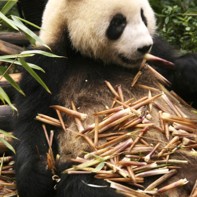 """Panda at Chengdu Panda Research Station"" stock image"