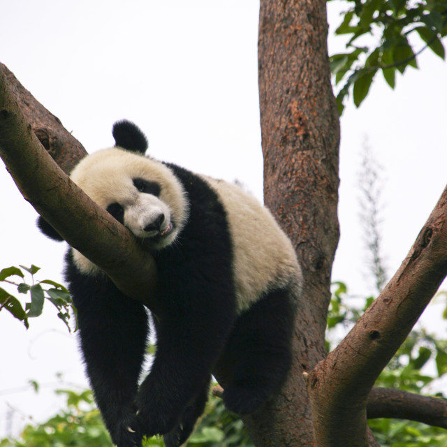 """Panda Nap at Chengdu Panda Research Station"" stock image"