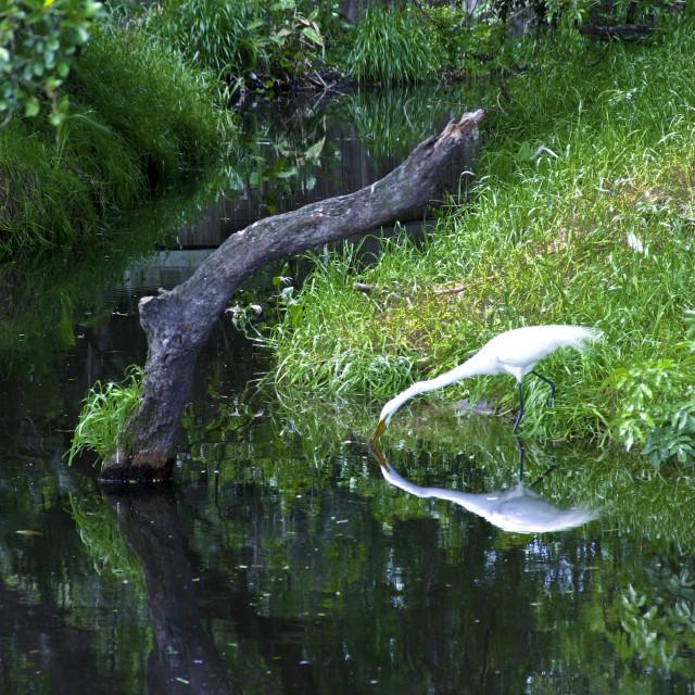 """Heron at the Alligator Farm"" stock image"