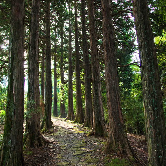 """Hakone Avenue of Cedars"" stock image"