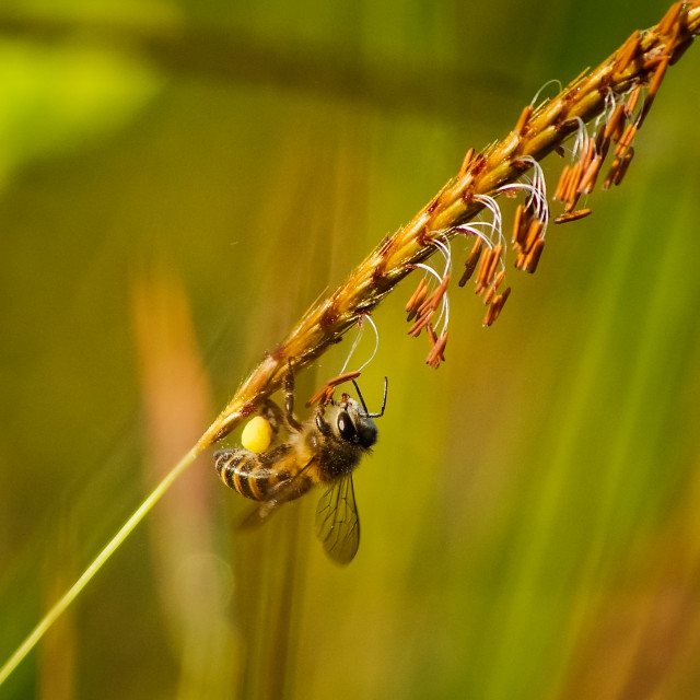 """""""Another hanging bee"""" stock image"""