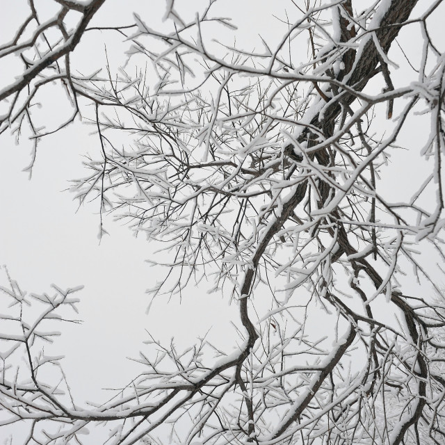 """Frosty branches"" stock image"