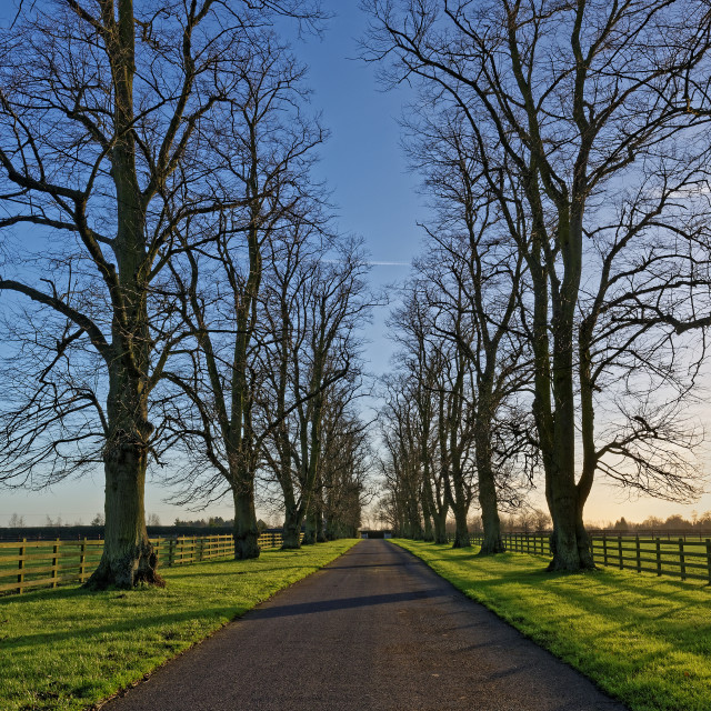 """""""Oaks Lining a Country Lane in Winter"""" stock image"""