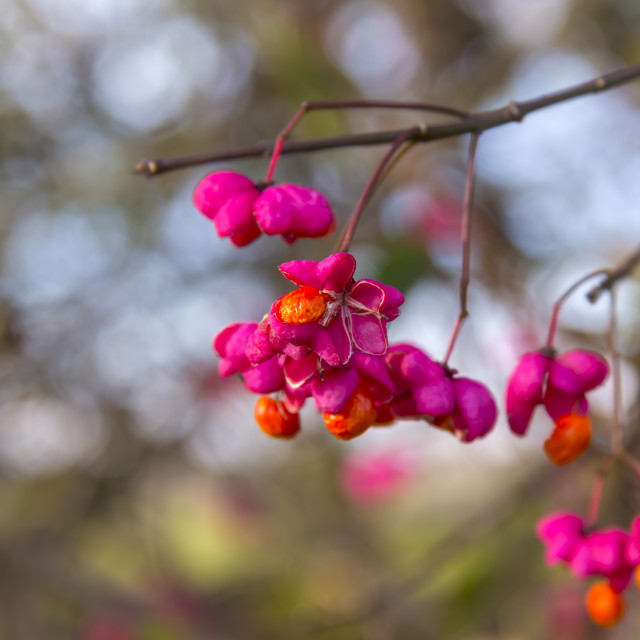 """Euonymus europaeus, known as spindle"" stock image"