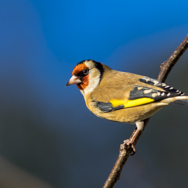 """""""goldfinch against blue"""" stock image"""
