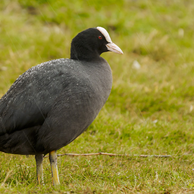"""""""Coot on the grass"""" stock image"""