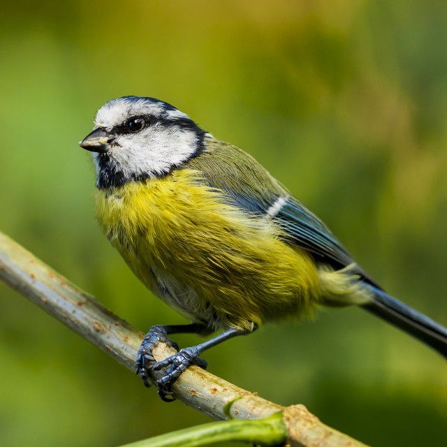 """blue tit on branch"" stock image"