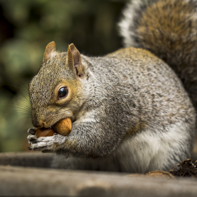 """""""Squirrel and nuts"""" stock image"""