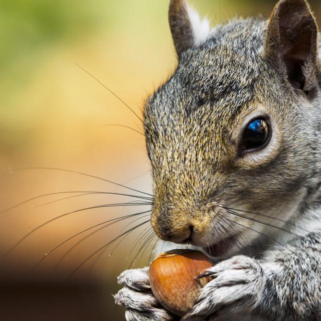 """squirrel with hazelnut"" stock image"