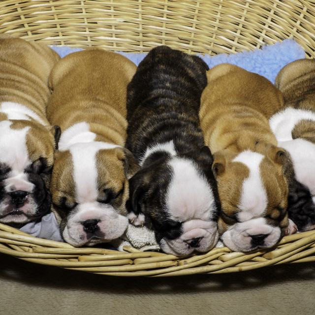 """basket full of puppies"" stock image"