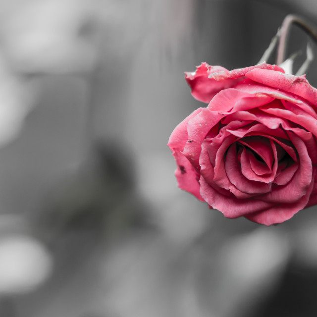 """Wilted rose with text area"" stock image"